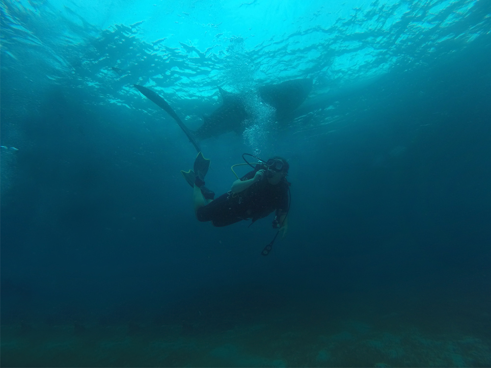 swimming with whale sharks, diving with whalesharks