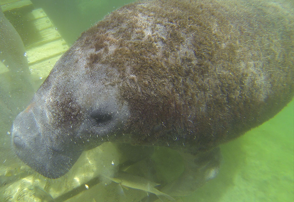 swimming with manaties, bucketlist wildlife experiences
