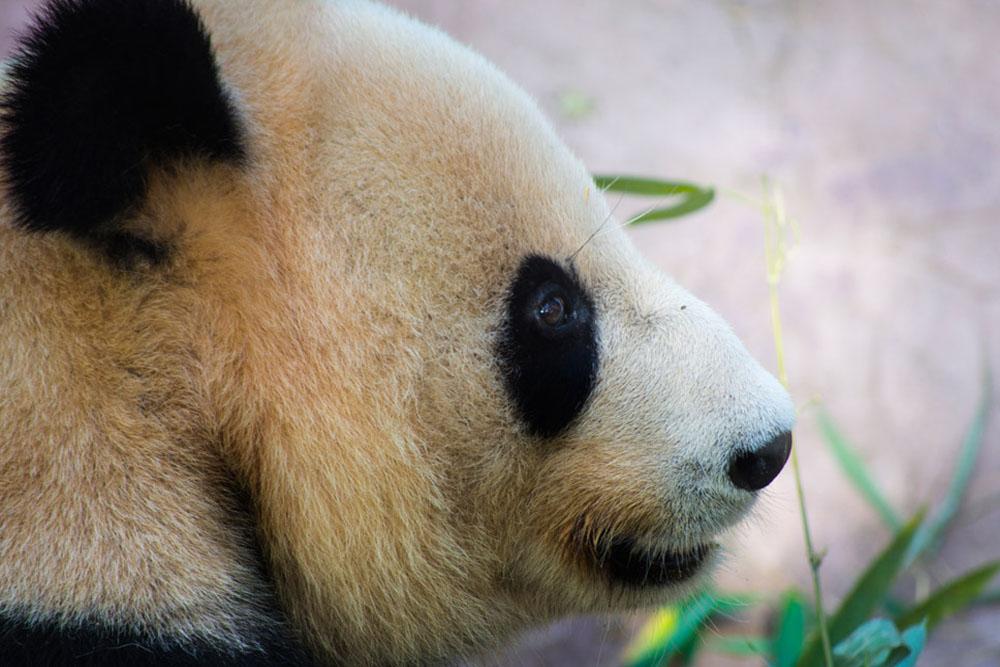 """""""giant panda china"""", """"dujiangyan giant panda base"""""""
