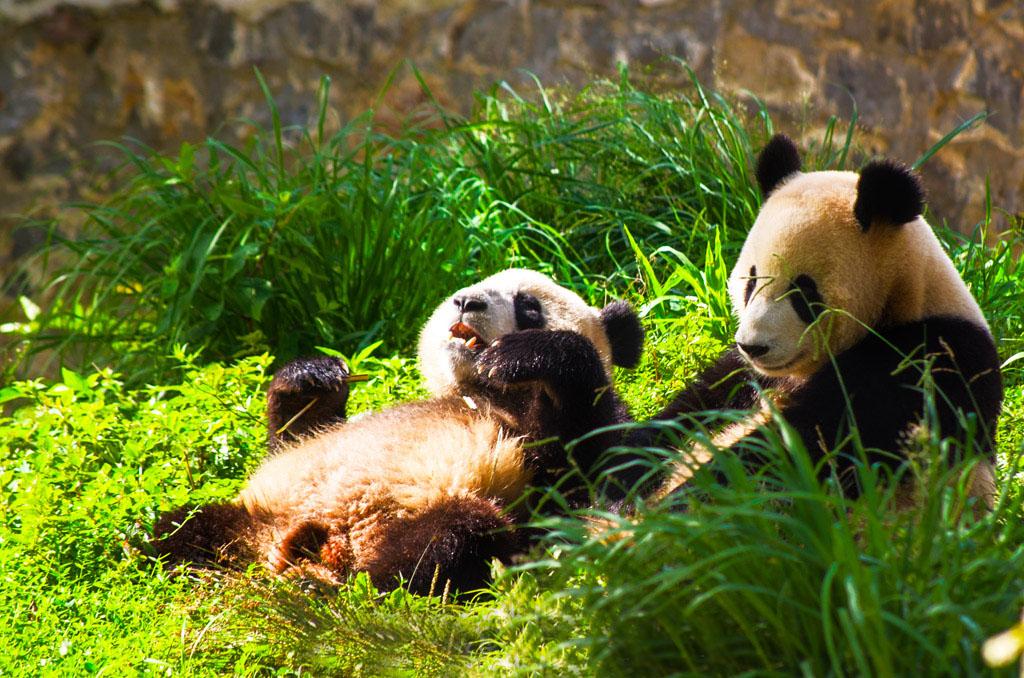 """""""chengdu panda tour"""", """"dujiangyan panda base"""", """"dujiangyan giant panda"""", """"dujiangyan panda center"""", """"dujiangyan giant panda center"""""""
