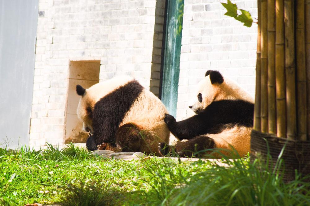 """""""chengdu panda tour"""", """"dujiangyan panda base"""", """"dujiangyan irrigation system"""", """"dujiangyan panda center"""", """"dujiangyan giant panda center"""", """"two pandas playing"""""""