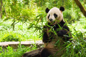 """chengdu panda tour"", ""dujiangyan panda base"", ""dujiangyan irrigation system"", ""dujiangyan panda center"", ""dujiangyan giant panda center"", ""giant panda eating leaves"""