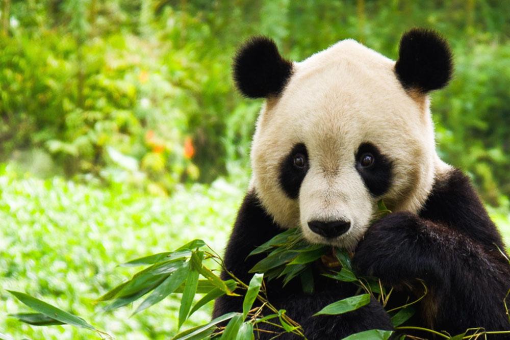 """""""chengdu panda tour"""", """"dujiangyan panda base"""", """"dujiangyan irrigation system"""", """"dujiangyan panda center"""", """"dujiangyan giant panda center"""", """"panda eating leaves"""""""