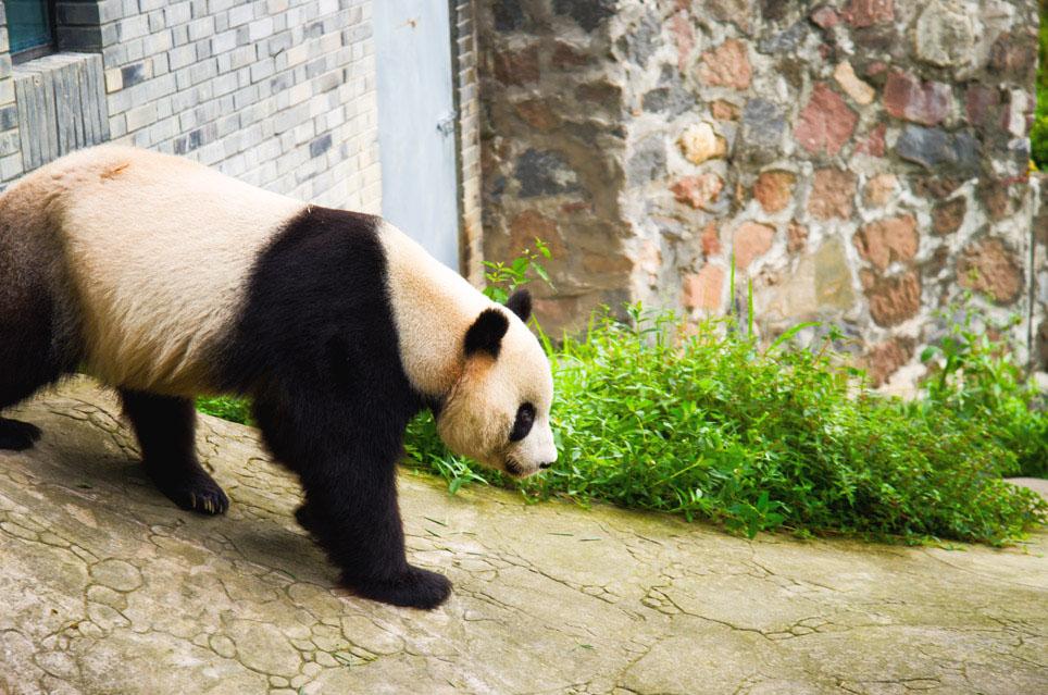 """""""chengdu panda tour"""", """"dujiangyan panda base"""", """"dujiangyan irrigation system"""", """"dujiangyan panda center"""", """"dujiangyan giant panda center"""", """"panda walking in china"""""""